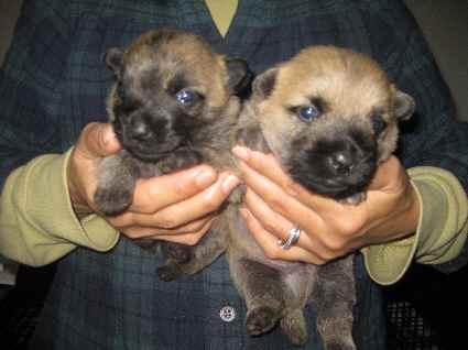 ケアンテリアの子犬たちの写真