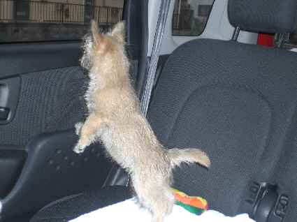 ケアンテリアの子犬の写真